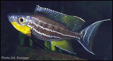 Benthochromis tricoti Chituta 01 (AK).jpg (29007 octets)