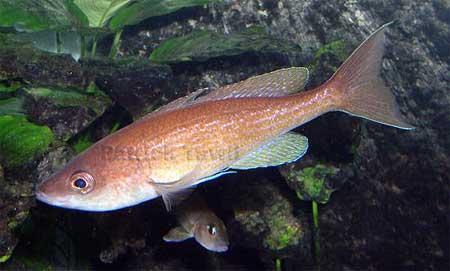 Cyprichromis pavo - femelle en aquarium -