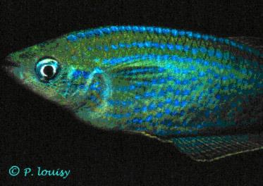 Lamprichthys tanganicanus.
