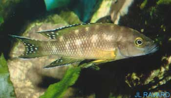 "Neolamprologus buescheri ""Kamakonde"" (male)."