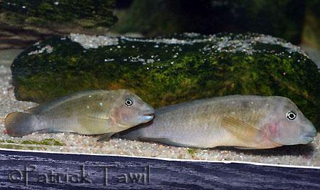 Spathodus marlieri, couple en aquarium.