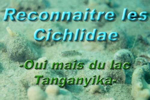 <h2>Reconnaitre les Cichlides du lac Tanganyika, description, morphologie, anatomie des poissons | cichlidés.(Photo Eric Genevelle).</h2>