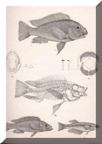 Dessins de : Petrochromis polyodon, Perissodus microlepis, Lamprichthys tanganicanus