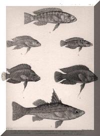 Planche de dessin : Lates microlepis, Neolamprologus fasciatus, Altolamprologus compressiceps, Variabilichromis moorii, Neolamprologus modestus