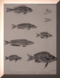 Xenotilapia sima, Xenotilapia melanogenys, Cyathopharynx furcifer, Trematocara marginatum, Ectodus descampsii