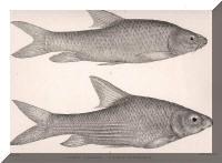 Barbus altianalis, Barbus tropidolepis.
