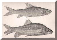 Acapoeta tanganicae, Barbus platyrhinus