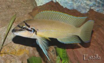 Chalinochromis brichardi.