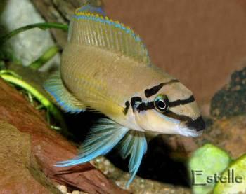 Chalinochromis brichardi femelle.