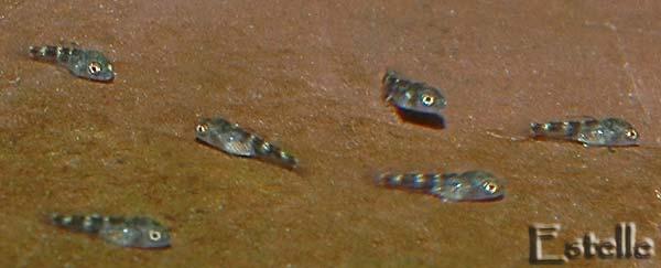 Alevins Chalinochromis brichardi