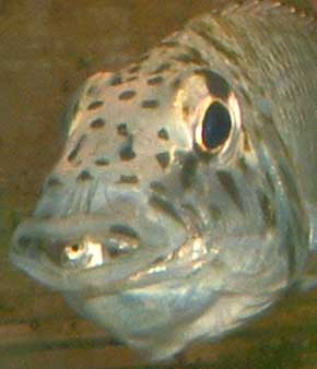 Ctenochromis -femelle gorge distendue-.