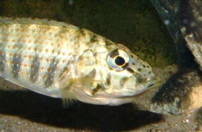 C. horei -femelle en incubation-.