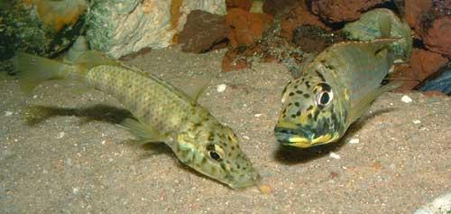 Ctenochromis horei | femelle ramassant un oeuf.