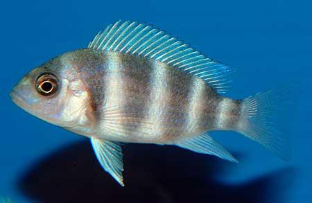 Cyphotilapia frontosa | juvénile en aquarium.