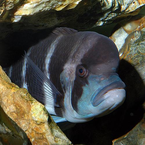 Cyphotilapia frontosa en aquarium.