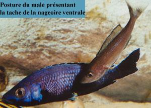 Cyprichromis jumbo mâle.