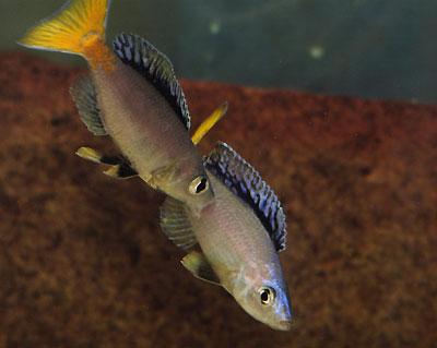 Cyprichromis leptosoma,morsure du dominant.