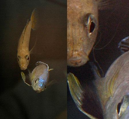 Cyprichromis leptosoma, femelle fécondant les oeufs en absorbant la laitance du mâle.