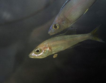 Cyprichromis leptosoma, femelle venant de lacher un oeuf.