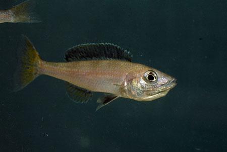 Cyprichromis leptosoma isanga, femelle pigmentée en incubation buccale.