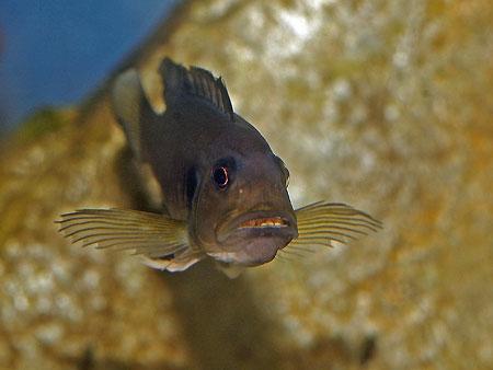 Triglachromis otostigma, femelle avec ses oeufs dans la bouche.