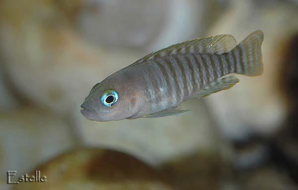 Neolamprologus multifasciatus femelle