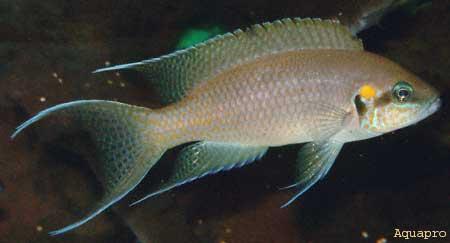 Neolamprologus brichardi.