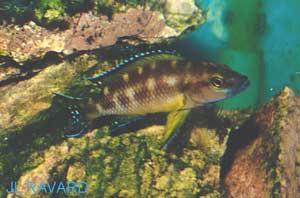 "Neolamprologus buescheri ""Kamakonde"" (femelle)."