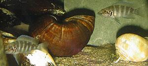 Neolamaprologus savoryi juvéniles.