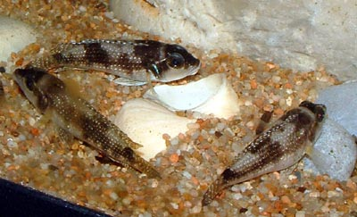 Lamprologus stappersii, trio en aquarium.