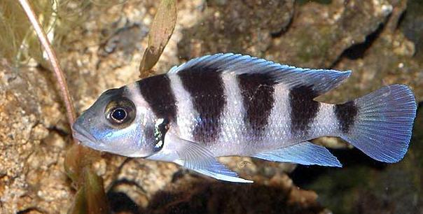 Neolamprologus tretocephalus.
