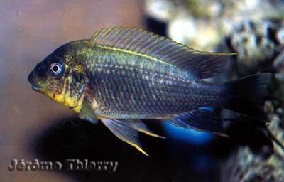 Petrochromis sp. Moshi yellow.