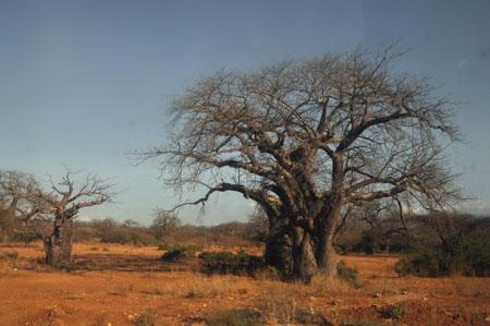 Baobab de Tanzanie.