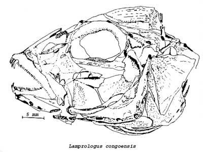 Osteologie du crane de Lamprologus congoensis.