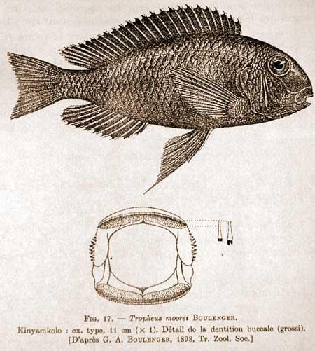Planche de la description de Tropheus moorii   population de Kinyamkolo (Mpulungu)   (d'après Boulenger).