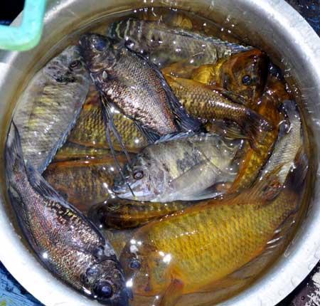 Repas de Cyathopharynx foae, et Petrochromis orthognathus et 'moshi yellow'.