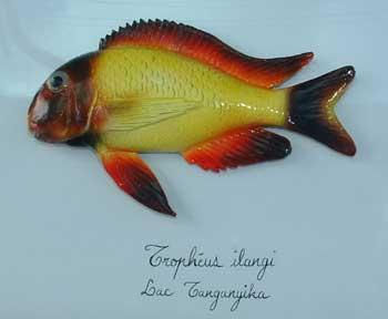 Tropheus ilangi.