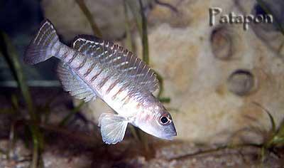 Neolamprologus signatus mâle.