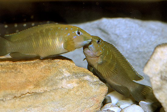Spathodus erythrodon couple