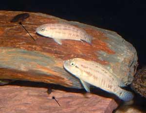 """Telmatochromis sp. temporalis """"shell"""", différents patrons de colorations."""