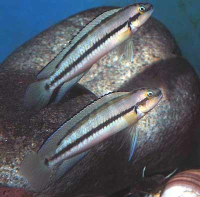 Telmatochromis vittatus, mâle dominant en bas, mâle dominé en haut.