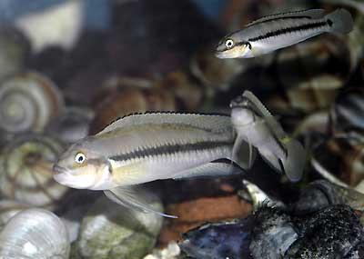 Telmatochromis vittatus | mâle et femelles.