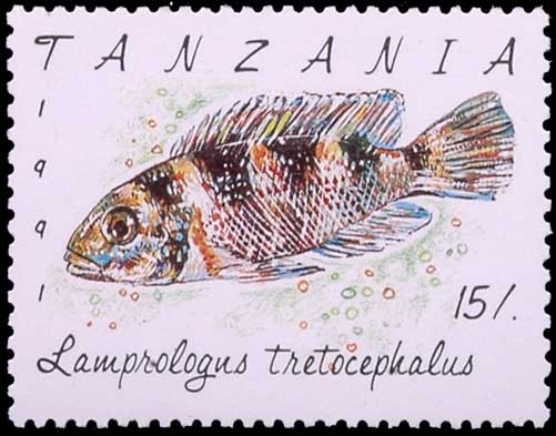 Neolamprologus tretocephalus timbré.