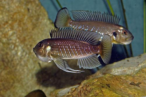 Triglachromis otostigma, couple sauvage paradant en aquarium.