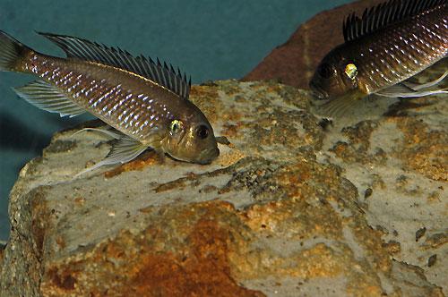 Triglachromis otostigma, transfert des oeufs entre les parents.