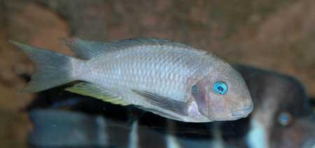 Tropheus polli, individu dominant en aquarium.
