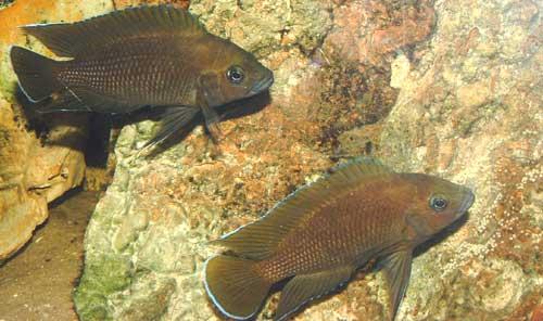 Couple de Variabilichromis moorii.