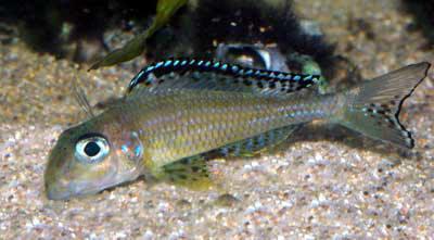 Xenotilapia papilio filtrant le substrat sableux.