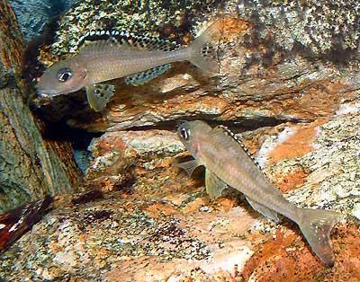 Couple de Xenotilapia papilio en parade.