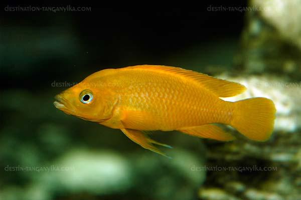 Neolamprologus leleupi Luangha